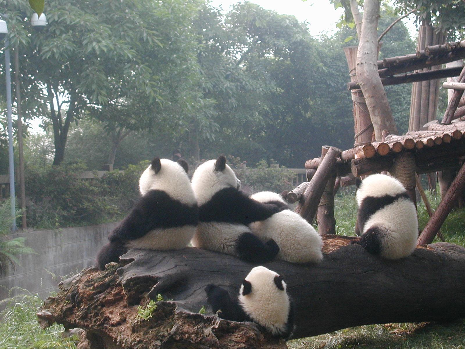 壁纸 大熊猫 动物 1600