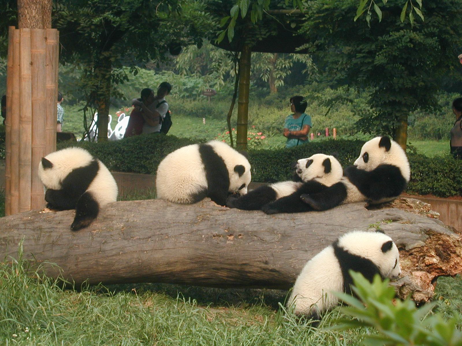 熊猫为什么这么可爱