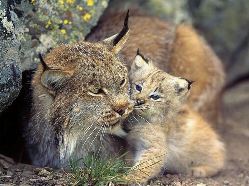 国家重点保护野生动物——猞猁 - hubao.an - hubao.an的博客