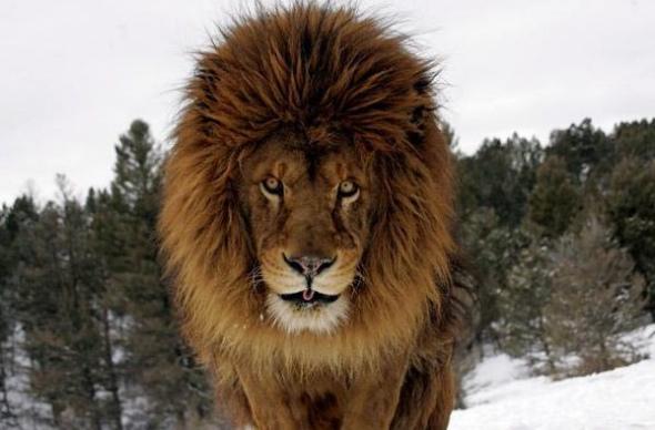 狮子二.jpg