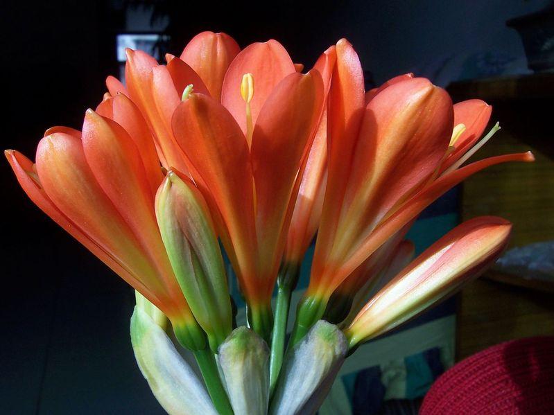 作者: 酷的这么忧伤 时间: 2009-3-31 10:15 标题: 何谓 万 花! 看 我 万 花 之威 之雅 之美! 一朵完整的花包括了六个基本部分,即花梗、花托、花萼、花冠、雄蕊群和雌蕊群。其中花梗与花托相当于枝的部分,其余四部分相当于枝上的变态叶,常合称为花部。一朵四部俱全的花称为完全花,缺少其中的任一部分则称为不完全花。   花的各部分(如花萼、花冠、雄蕊群和雌蕊群等)及花序在长期的进化过程中,产生了各式各样的适应性变异,因而形成了各种各样的类型。   形态结构, 花的形状千姿百态,大约25万