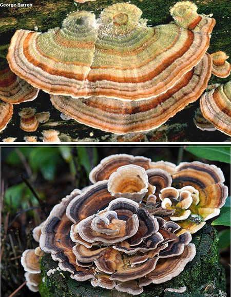 天蓝蘑菇是在新西兰和印度发现的一个菌种.这个小小的蘑...